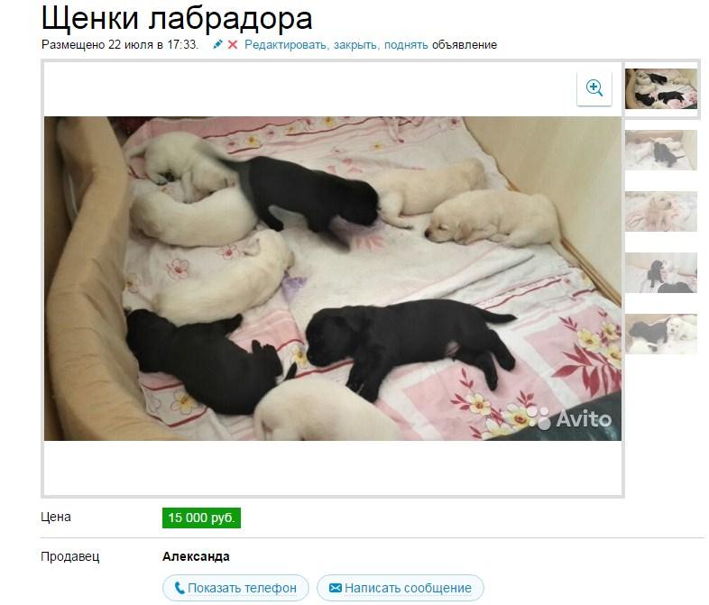schenki_labradora